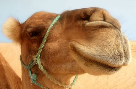 The 15-humped Camel